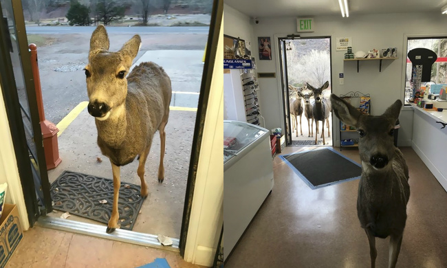 8 - A deer entered a shop in the state of Colorado. The owner decided to give him some chocolate and cookies. He left and half an hour later, he came back with his entire family.