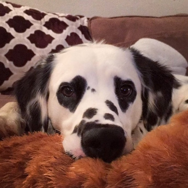 18 - This dalmatian has heart-shaped spots on his eyes