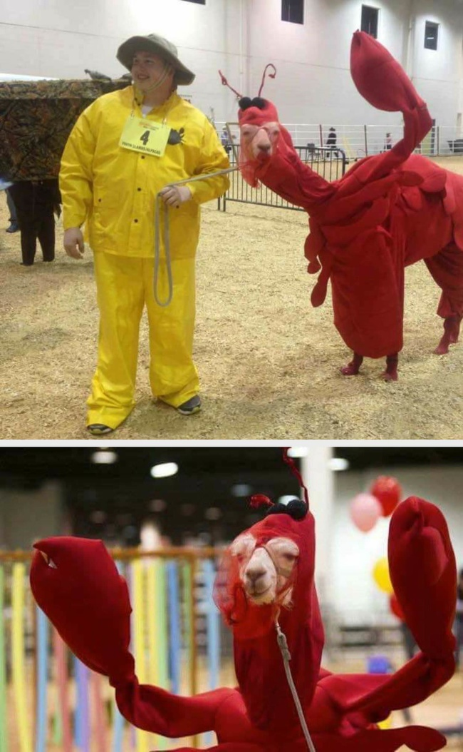 20 - You thought there was no way to make a llama cuter? How about a lobster suit?