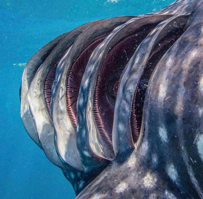 9 - Whale shark gills.