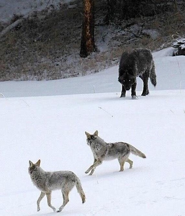 2 - The size of a wolf compared to coyotes.