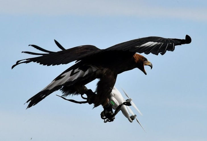 15 - This trained eagle taking down a drone