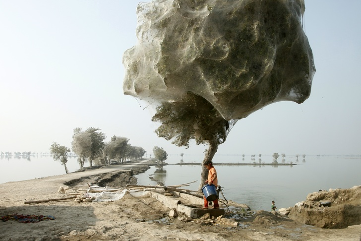 20 - Trees cocooned in spiders webs after flooding in Sindh, Pakistan