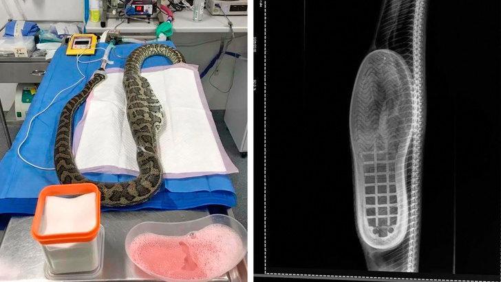 15 - A python swallowed a slipper and it required surgery (don't worry, they turned out fine).