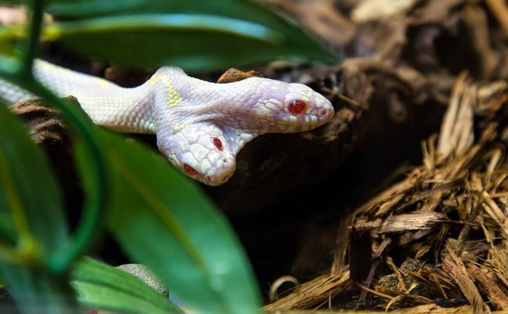 23 - A 2-headed albino California Royal Snake