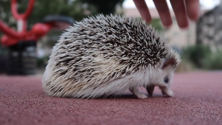 10 - A hedgehog screaming at the ground