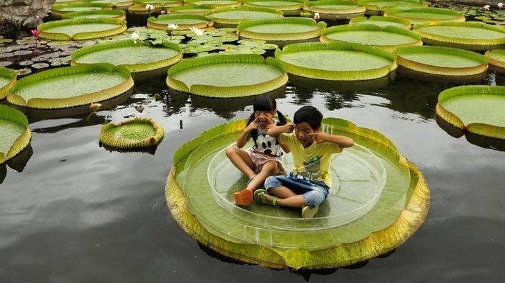 7 - Gigantic leaves of a water lily