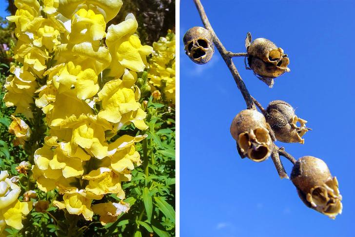 8 - Snapdragon seed pods look like skulls.