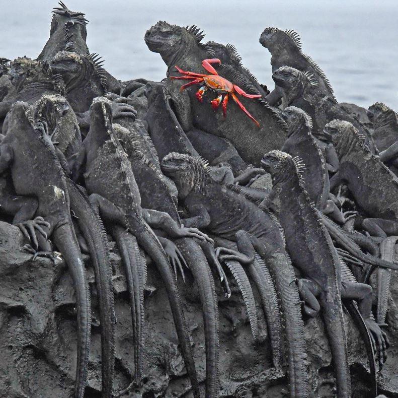 18 - Galapagos marine iguanas