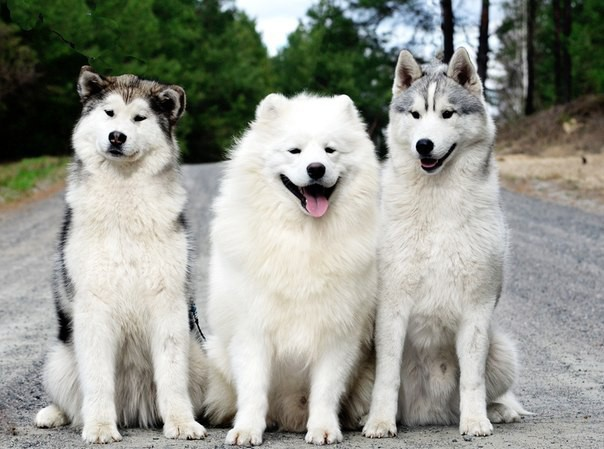 Can't Distinguish Between A Husky And A Malamute? This Gallery Is For ...: www.ebaumsworld.com/pictures/cant-distinguish-between-a-husky-and-a...