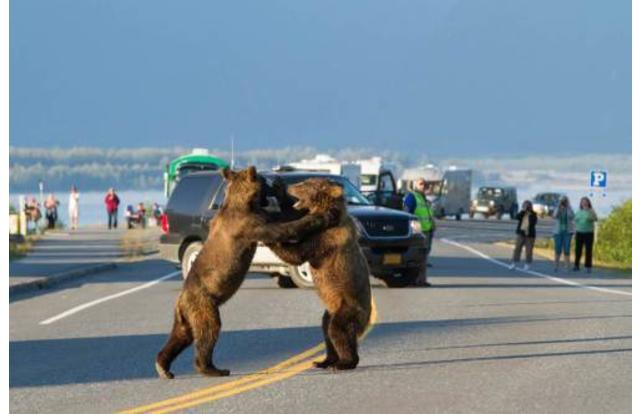 2 - Funny pic of Alaska of bears fighting in the road Alaska