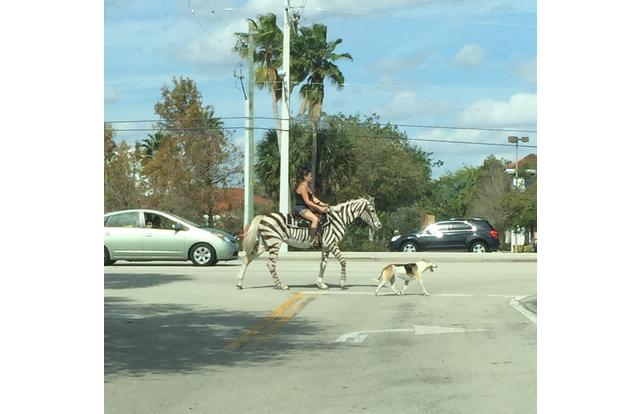 9 - Person riding a zebra to cross the street in Florida. Florida