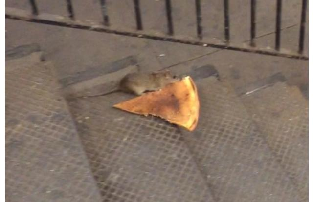 32 - Rat stealing a slice of pizza in New York New York
