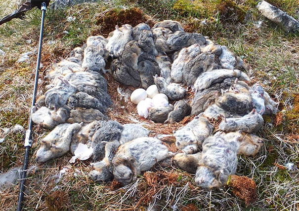 13 - Owl nest with unhatched eggs made out of dead lemmings
