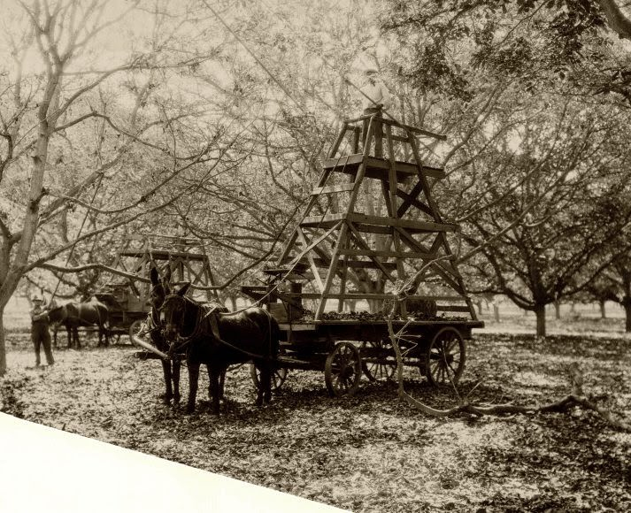 16 - Mules move special structures designed to pick walnuts in Whittier, CA, US in 1903.