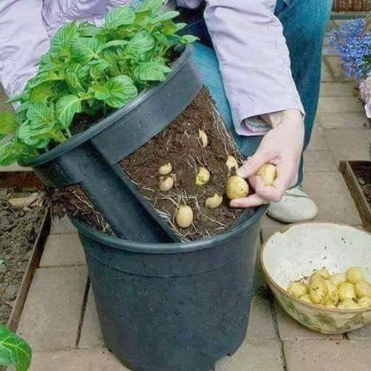 37 - Weird image of a bucket that lets you grow potatoes and remove them easily without killing the plant. LAST IMAGE of the Weird, Funny and WTF list.