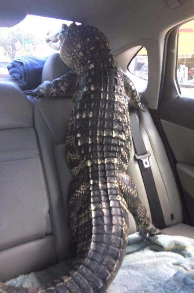 4 - Alligator inside a car looking out the back window.