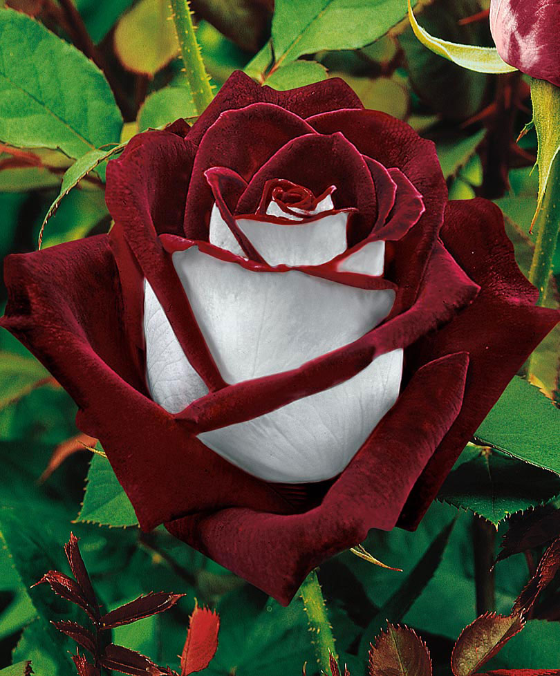 5 - Beautiful rose that is white and red