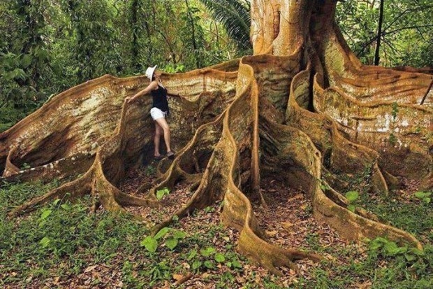 17 - A tree with insane roots in Costa Rica