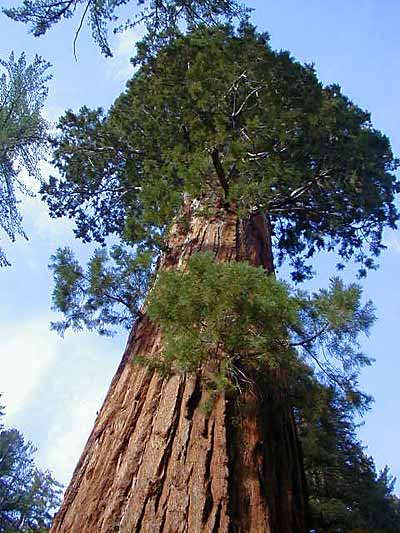 worlds biggest tree