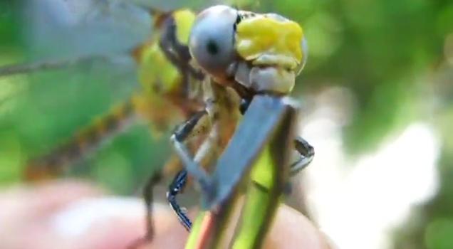 Handfeeding A Dragonfly view on ebaumsworld.com tube online.