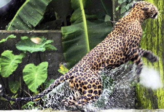 Leopard Surprise Attacks A Squirrel