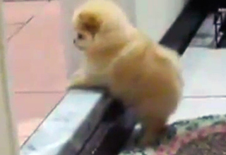 Pomeranian Vs. Step