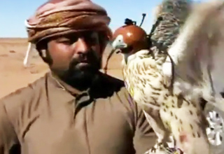 Camera Attached to Falcon While Hunting Prey