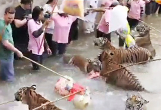 Tourists Teasing Tigers In Thailand