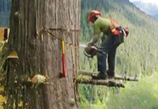 Canadian Lumberjack vs Tree