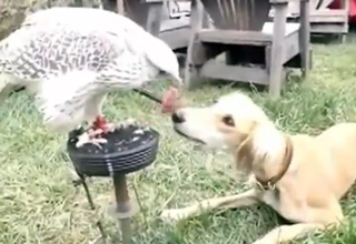 Hawk Shares It's Lunch With Dog