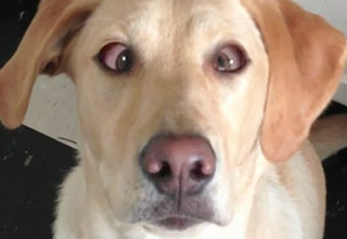Dog Crosses Eyes On Command