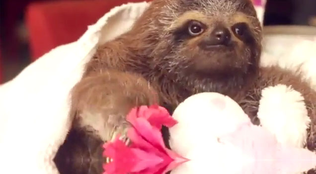Romantic Sloth Offers Flower To A Lady Video Ebaum S World