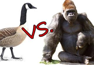 canada goose vs gorilla