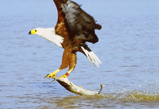 Bald Eagle Takes Fish Right Off Fishing Line