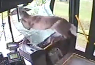 Deer Crashes Through Windshield: Bus Surveillance Footage