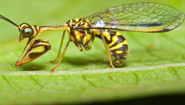 Hornet Vs Praying Mantis If you were abl...