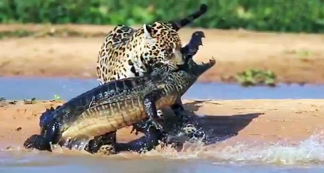 Jaguar Attacks Crocodile Close-up Footage view on ebaumsworld.com tube online.