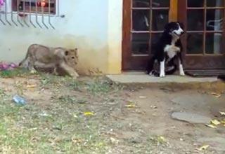 oregon zoo lion triplets meet