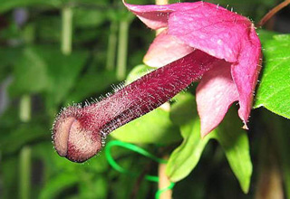 pink flower that looks like a penis