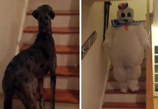 great dane stay puft marshmellow man