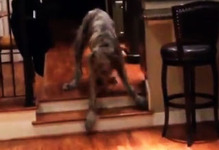 wolf hound goes down stairs