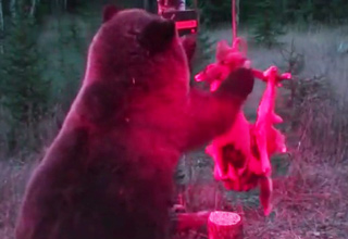 bear dismantles deer trap