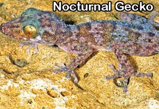 nocturnal gecko