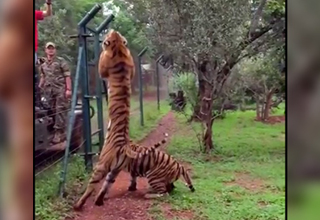 tiger jumping for meat next to a fence and some people.