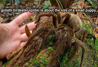 The goliath birdeater spider is about the size of a small puppy.