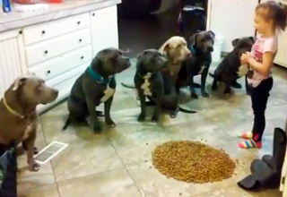 obedient pitbulls waiting to eat