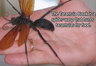tarantula hawk spider wasp