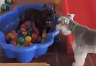 little dog goes nuts in ball pit