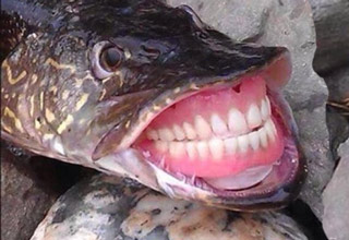 fish with dentures